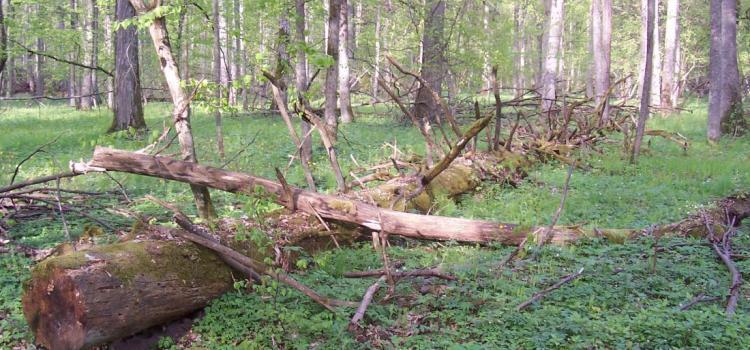 В лес с пилой и топором: собираем валежник по правилам